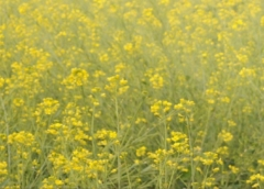 GM Mustard